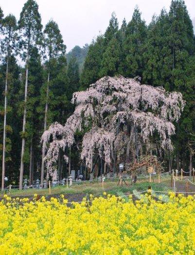 高山桜 坪井の桜 樹齢600年.jpg