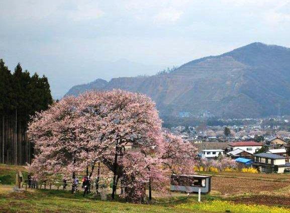 高山桜 黒部・江戸彼岸桜.jpg